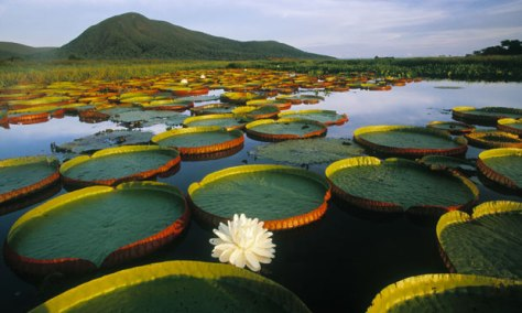 Pantanal Matogrossense national park in Brazil with giant Victoria Regia water lilies and lily pads