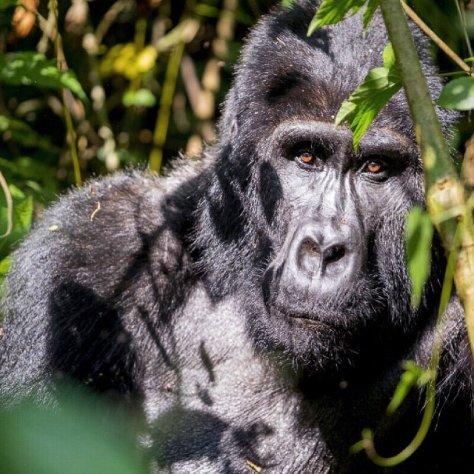 Bwindi Impenetrable National Park (Uganda)