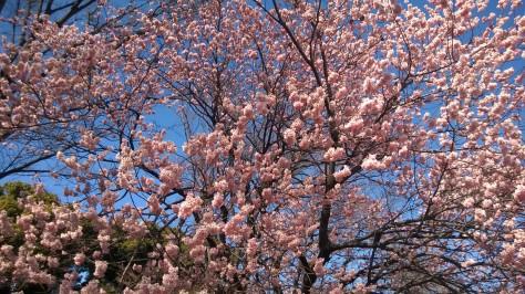 Palazzo Imperiale _ Ciliegi in fiore, Tokyo